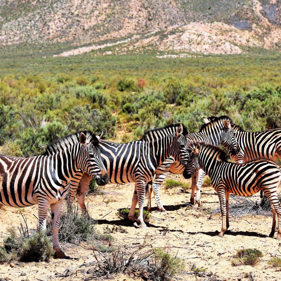 2014-02-21_1141_South Africa_Western Cape_Aquila Private Game Reserve_Zebra_@_Web