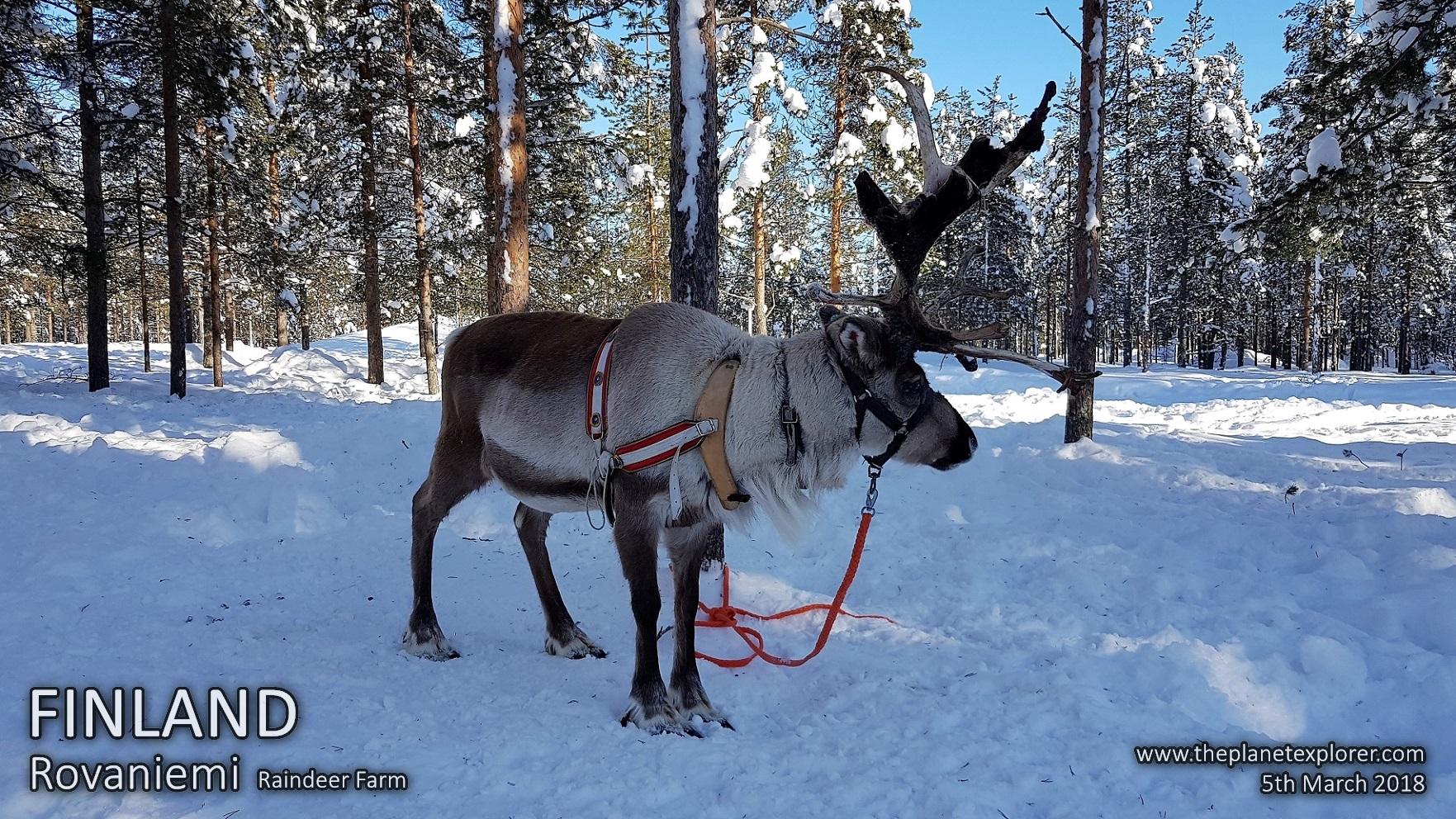 20180305_1324_Finland_Rovaniemi_Raindeer Farm_Raindeer_Samsung Note 8_LR_@www